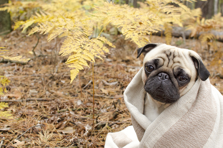 Cute dog breed pug wrapped in blanket in autumn forest