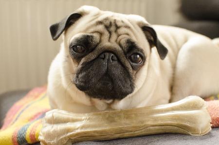 Dog breed pug sleeping on the bone