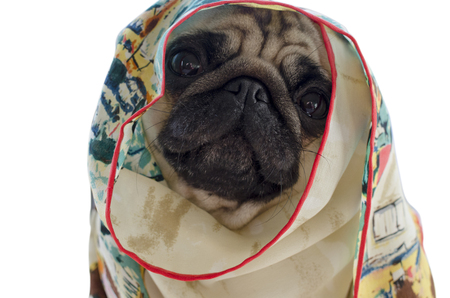 pug wrapped  in silk neckerchief isolated on white background