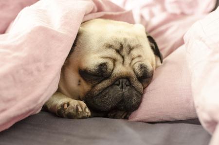 pequeño lindo perro de raza pug durmiendo en mal