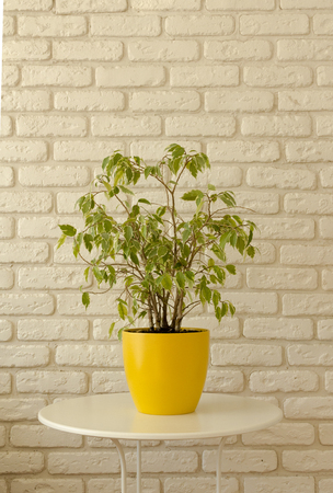 ficus in yellow pot on white brick wall background