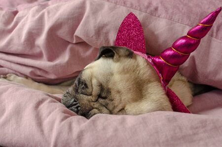 dog breed pug in unicorn hat sleeping in masters bad Stock Photo