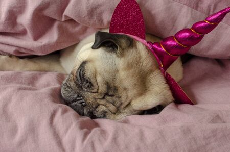 dog breed pug in unicorn hat sleeping in master's bad Stock Photo - 137445229