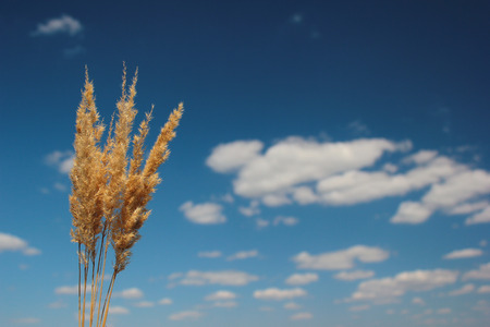medium group of object: Yellow panicles on blue sky background