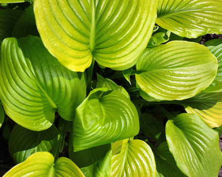 ornamental plant: Green leaves of hosta. Ornamental plant in the garden. Stock Photo