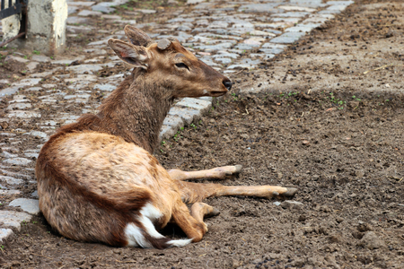 cervus: Dehorned sika deer (Cervus nippon) Stock Photo