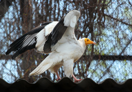 lappet: Egyptian Vulture (Neophron Percnopterus) in a zoo Stock Photo
