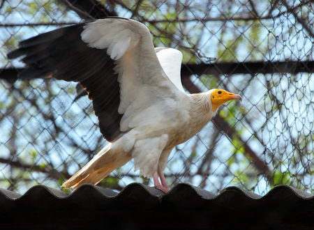 lappet: Egyptian Vulture (Neophron Percnopterus)