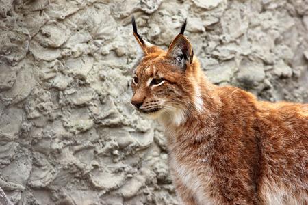 hair tuft: Adult eurasian lynx