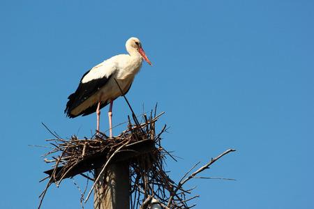 cigogne: cigogne mâle dans le nid Banque d'images