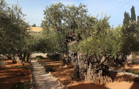 mount of olives: Garden of Gethsemane on Mount of Olives, Jerusalem, Israel