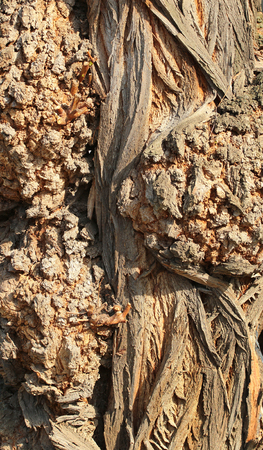 knobby: Gnarled tree trunk texture closeup Stock Photo