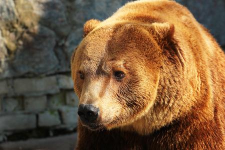 arctos: Brown bear (Ursus arctos) in a zoo