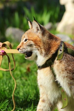 restrain: Young eurasian lynx on a leash