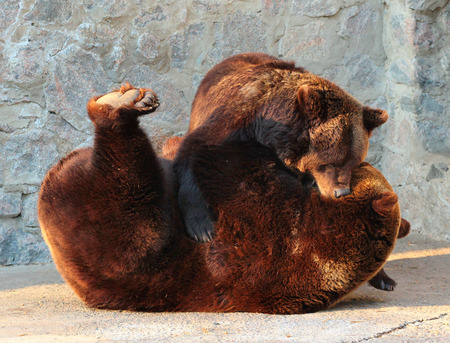 arctos: Two brown bears (Ursus arctos) playing in a zoo Stock Photo