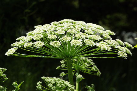 Giant Hogweed (Heracleum mantegazzianum) flower, Caucasus, Georgia