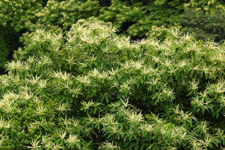 fagaceae: Chestnut tree in blossom (Castanea sativa)