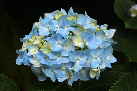 bigleaf hydrangea: Blue bigleaf hydrangea (Hydrangea macrophylla) flowers