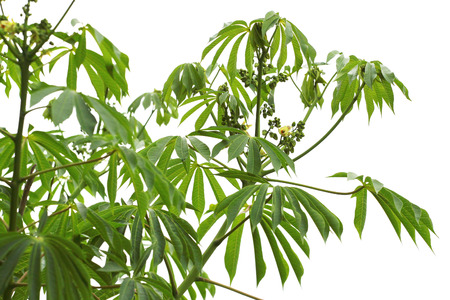 tropical shrub: Manioc (Manihot carthaginensis), leaves and buds isolated on white background