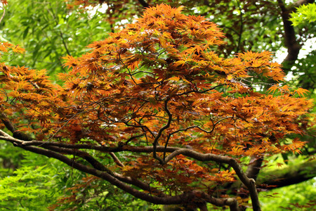 acer palmatum: Yellow and orange leaves of Japanese maple tree (Acer palmatum). Focus is in the middle