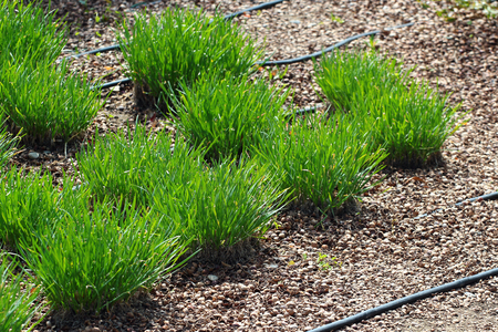 Tufts of fresh green grass, garden hose for drip watering and hazelnut mulching on a garden-bed