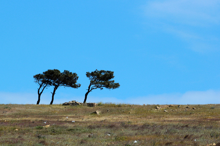 Three lopsided pine trees on blue sky background