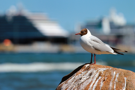 Seagull on a sea shore against big cruise ship in background