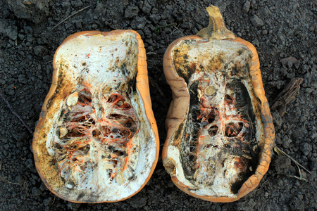 Rotten squash on the ground