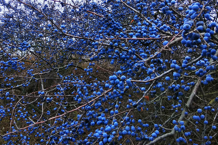 Blackthorn fruits on a bush. Blue sloe berries at early autumn. Stock Photo