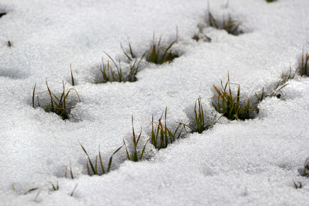 Fresh sprouts of wheat appear from under the snow