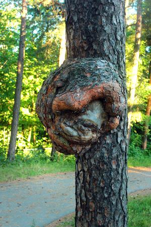Burr on trunk of pine tree