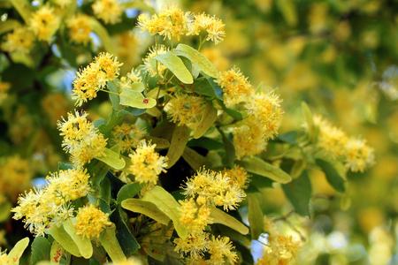 Lime tree in bloom Banco de Imagens