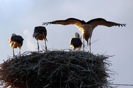 Rear view of four storks in their nest