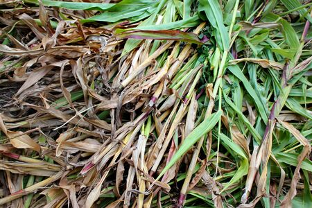 Corn stalks on the ground after harvesting