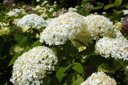 White flowers of sevenbark (Hydrangea arborescens) Stock Photo