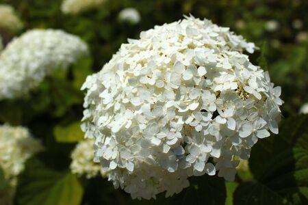 White flowers of sevenbark (Hydrangea arborescens) Banco de Imagens
