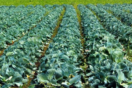 Rows of green cabbage on a field Фото со стока