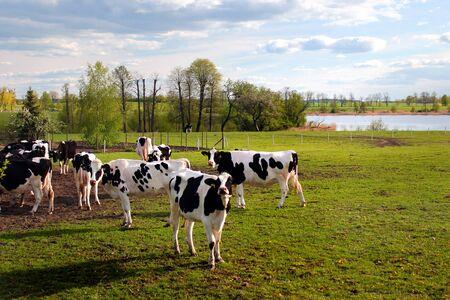 Cows on green sunny pasture Фото со стока