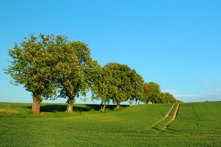 Row of chestnut trees on a green field against blue sky background. Idyllic summer landscape.