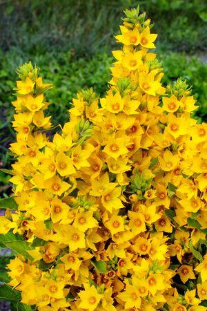 Lysimachia punctata (Garden Loosestrife, Yellow Loosestrife or Garden Yellow Loosestrife) flowers in the garden Фото со стока