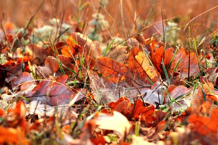 Dry oak leaves in the grass. Yellow and brown autumn colors. Фото со стока