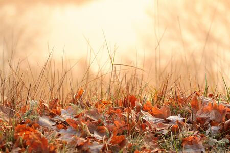 Autumn morning. Dew on dry oak leaves in the grass. Yellow and brown fall colors.