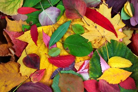 Colorful autumn leaves as background 版權商用圖片