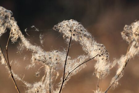 Cattail fluff on dry wild flowers in late autumn