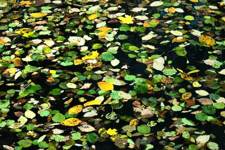 Yellow and green autumn leaves on water surface