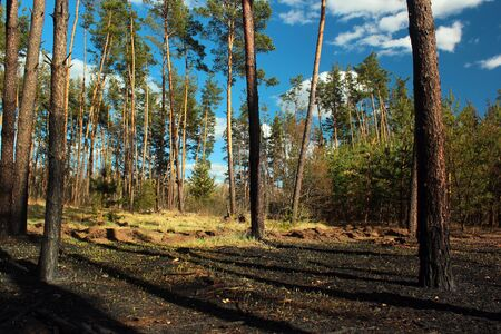 Burnt forest floor and pine tree trunks after a ground fire