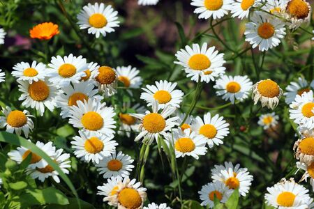 German chamomile flowers in a garden Banque d'images