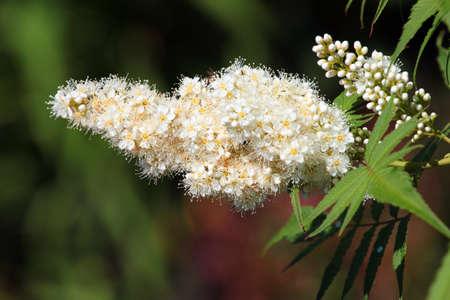 White spiraea flowers in a garden