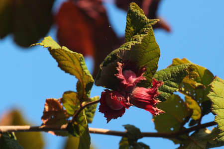 Common hazelnut tree, green leaves and red fruits Banque d'images
