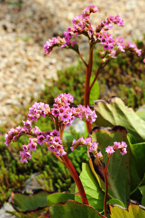 Purple flowers of Elephants ears, or Bergenia crassifolia, in a garden Banque d'images